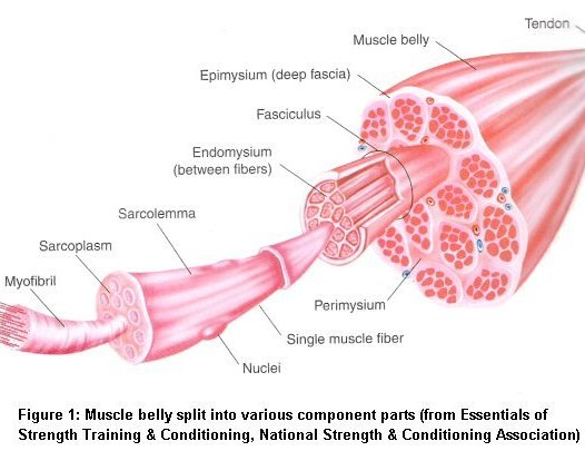 How Do Muscles Grow?